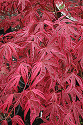 Shirazz Japanese Maple (Acer palmatum 'Gwen's Rose Delight') at Meadows Farms Nurseries