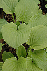 Aphrodite Hosta (Hosta 'Aphrodite') at Meadows Farms Nurseries