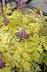 Berry Exciting Corydalis (Corydalis 'Berry Exciting') at Meadows Farms Nurseries