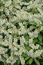 Cavatine Dwarf Japanese Pieris (Pieris japonica 'Cavatine') at Meadows Farms Nurseries