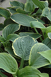 Christmas Tree Hosta (Hosta 'Christmas Tree') at Meadows Farms Nurseries