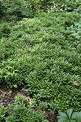 Dwarf Sweet Box (Sarcococca hookeriana 'var. humilis') at Meadows Farms Nurseries