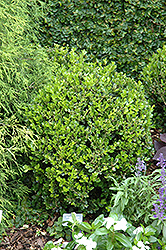 Winter Gem Boxwood (Buxus microphylla 'Winter Gem') at Meadows Farms Nurseries