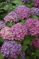 Pia Hydrangea (Hydrangea macrophylla 'Pia') at Meadows Farms Nurseries