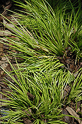 Grassy-Leaved Sweet Flag (Acorus gramineus 'Minimus Aureus') at Meadows Farms Nurseries