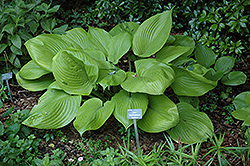 Sum and Substance Hosta (Hosta 'Sum and Substance') at Meadows Farms Nurseries