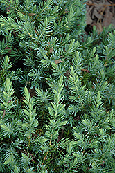 Blue Pacific Shore Juniper (Juniperus conferta 'Blue Pacific') at Meadows Farms Nurseries