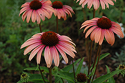 Big Sky Summer Sky Coneflower (Echinacea 'Big Sky Summer Sky') at Meadows Farms Nurseries