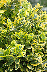 Gold Variegated Japanese Euonymus (Euonymus japonicus 'Aureomarginatus') at Meadows Farms Nurseries