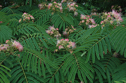 Mimosa (Albizia julibrissin) at Meadows Farms Nurseries