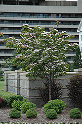 Flowering Dogwood (Cornus florida) at Meadows Farms Nurseries