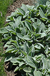 Giant Lamb's Ears (Stachys byzantina 'Big Ears') at Meadows Farms Nurseries