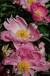 Pink Dawn Peony (Paeonia 'Pink Dawn') at Meadows Farms Nurseries