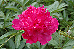 Felix Crousse Peony (Paeonia 'Felix Crousse') at Meadows Farms Nurseries