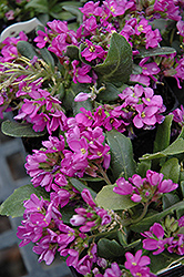 Spring Charm Rock Cress (Arabis 'Spring Charm') at Meadows Farms Nurseries