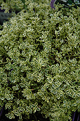 Highland Cream Creeping Thyme (Thymus praecox 'Highland Cream') at Meadows Farms Nurseries