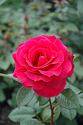 Frankly Scarlet Rose (Rosa 'Frankly Scarlet') at Meadows Farms Nurseries