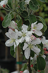 Granny Smith Apple (Malus 'Granny Smith') at Meadows Farms Nurseries