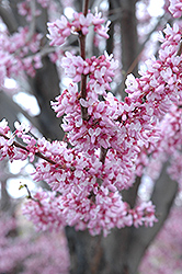 Eastern Redbud (Cercis canadensis) at Meadows Farms Nurseries