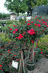 Knock Out® Rose Tree (Rosa 'Radrazz') at Meadows Farms Nurseries