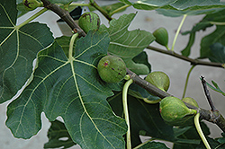 Mission Fig (Ficus carica 'Mission') at Meadows Farms Nurseries