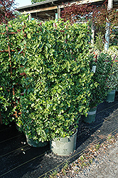 Manhattan Spreading Euonymus (Euonymus kiautschovicus 'Manhattan') at Meadows Farms Nurseries