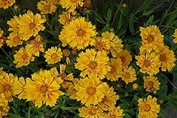 Jethro Tull Tickseed (Coreopsis 'Jethro Tull') at Meadows Farms Nurseries