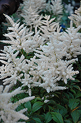 Deutschland Astilbe (Astilbe japonica 'Deutschland') at Meadows Farms Nurseries
