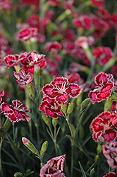 Cranberry Ice Pinks (Dianthus 'Cranberry Ice') at Meadows Farms Nurseries