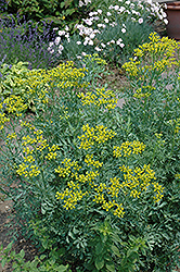 Common Rue (Ruta graveolens) at Meadows Farms Nurseries