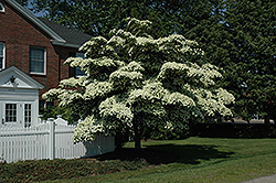 Chinese Dogwood (Cornus kousa) at Meadows Farms Nurseries