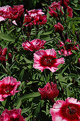 Raspberry Parfait Pinks (Dianthus 'Raspberry Parfait') at Meadows Farms Nurseries