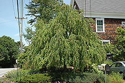 Weeping Katsura Tree (Cercidiphyllum japonicum 'Pendulum') at Meadows Farms Nurseries