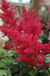 Montgomery Japanese Astilbe (Astilbe japonica 'Montgomery') at Meadows Farms Nurseries