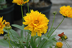 Sunray Tickseed (Coreopsis grandiflora 'Sunray') at Meadows Farms Nurseries