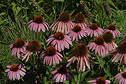 Purple Coneflower (Echinacea purpurea) at Meadows Farms Nurseries