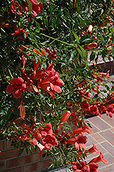 Flamenco Trumpetvine (Campsis radicans 'Flamenco') at Meadows Farms Nurseries