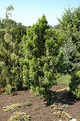Peve Minaret Baldcypress (Taxodium distichum 'Peve Minaret') at Meadows Farms Nurseries