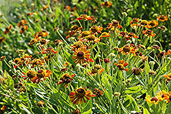 Loysder Wieck Sneezeweed (Helenium 'Loysder Wieck') at Meadows Farms Nurseries