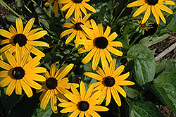 City Garden Coneflower (Rudbeckia fulgida 'City Garden') at Meadows Farms Nurseries