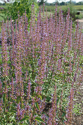 Purple Haze Hyssop (Agastache 'Purple Haze') at Meadows Farms Nurseries