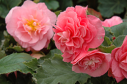 Nonstop® Pink Begonia (Begonia 'Nonstop Pink') at Meadows Farms Nurseries
