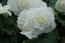 Nonstop® White Begonia (Begonia 'Nonstop White') at Meadows Farms Nurseries