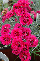 Double Star Starlette Pinks (Dianthus 'Double Star Starlette') at Meadows Farms Nurseries
