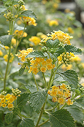 Sunburst Lantana (Lantana 'Sunburst') at Meadows Farms Nurseries
