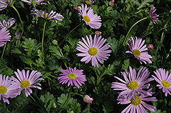 Jumbo Mauve Swan River Daisy (Brachyscome 'Happy Face Pink') at Meadows Farms Nurseries