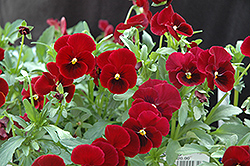 Red Selection Pansy (Viola 'Red Selection') at Meadows Farms Nurseries