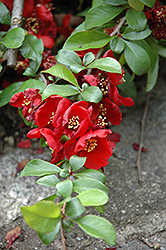 Crimson and Gold Flowering Quince (Chaenomeles x superba 'Crimson and Gold') at Meadows Farms Nurseries
