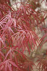 Ribbon-leaf Japanese Maple (Acer palmatum 'Atrolineare') at Meadows Farms Nurseries