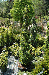 Common Boxwood (spiral) (Buxus sempervirens '(spiral)') at Meadows Farms Nurseries